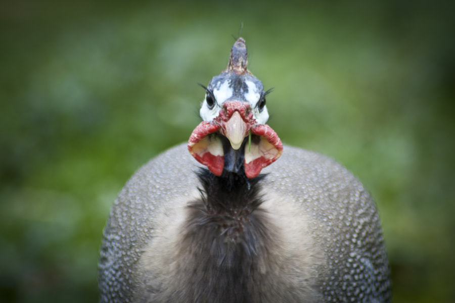 Photograph Guinea Fowl by Vicky Cannon on 500px