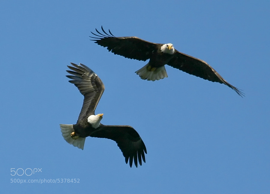 A pair of Bald Eagles playfully performing their mating ritual over the Susquehanna River new the Conowingo Dam, Maryland, USA.
