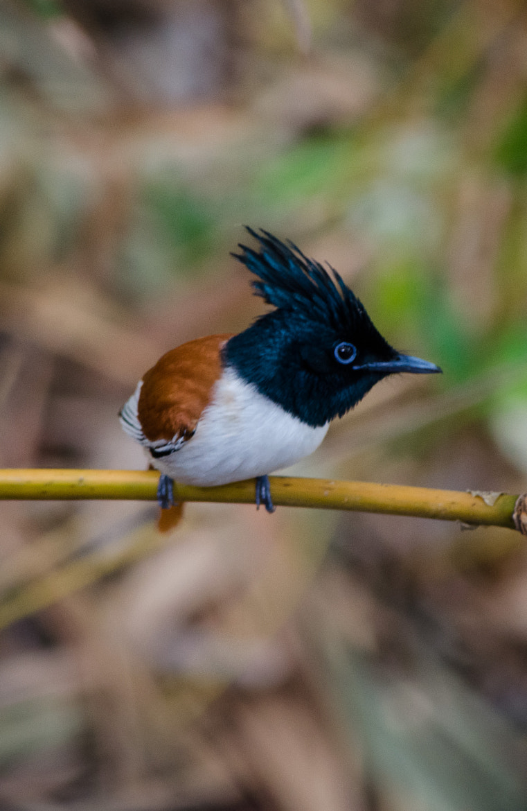 Photograph Asian Paradise-flycatcher by Subhash Radhakrishnan on 500px