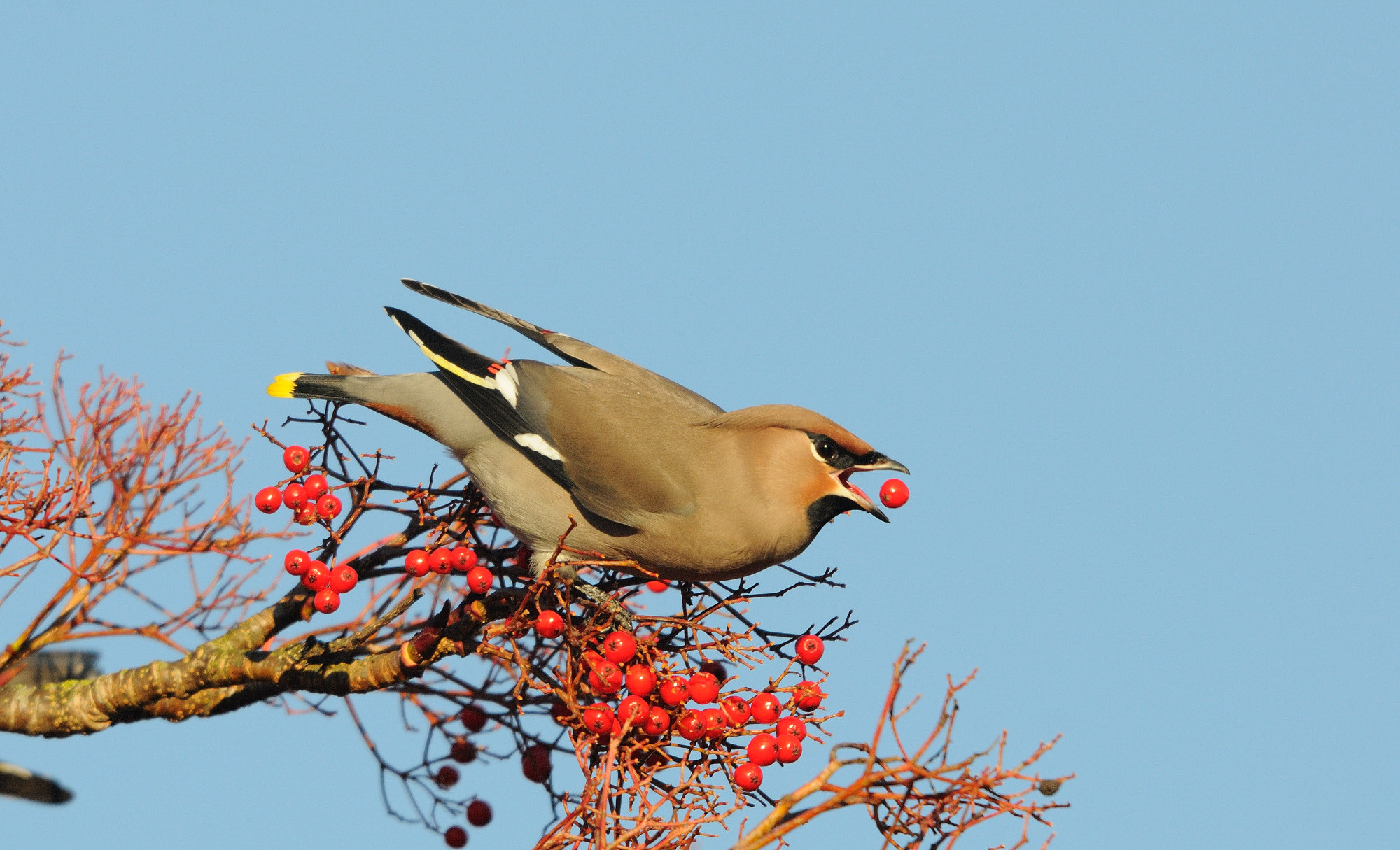Photograph Waxwing by KeithK on 500px