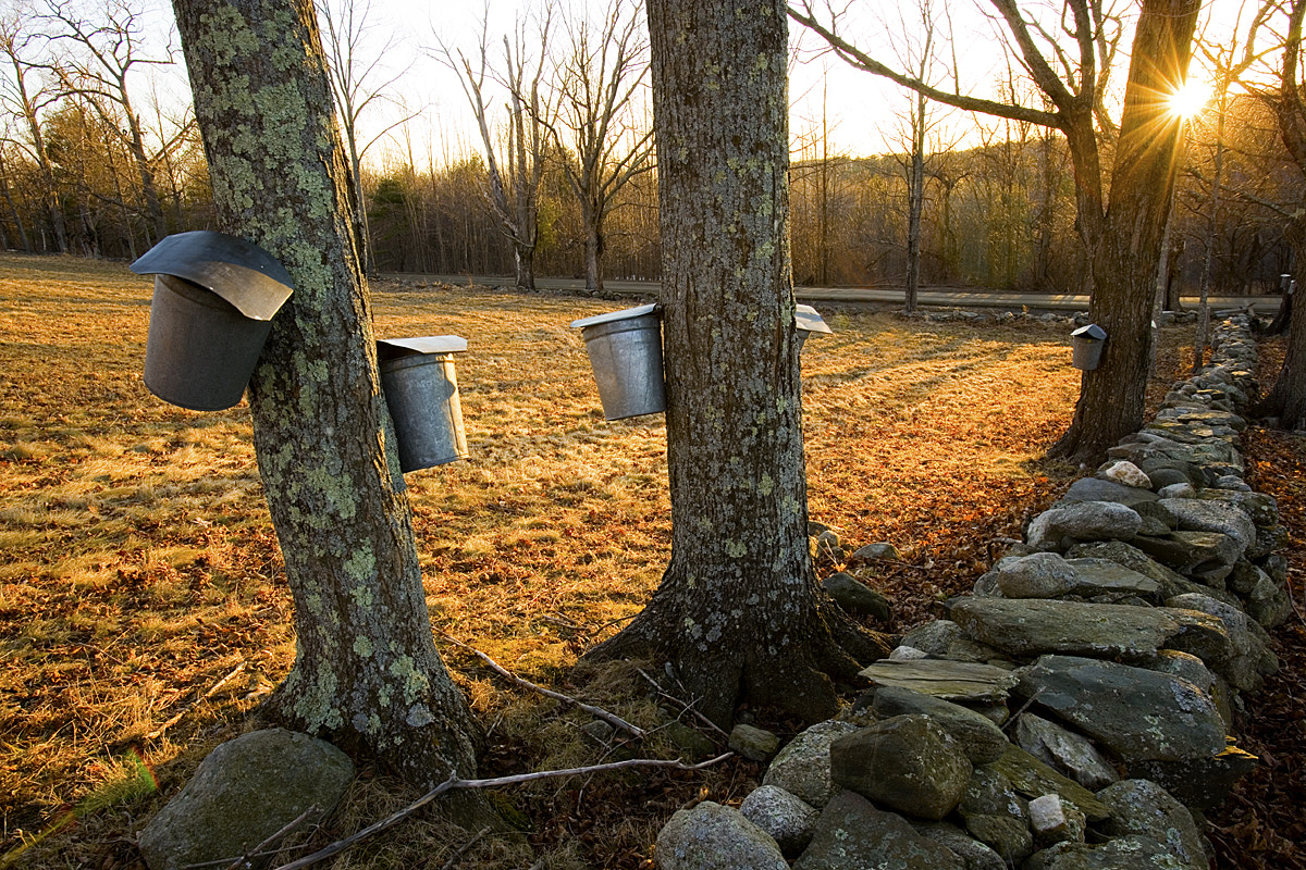 Photograph Sap buckets on sugar maple trees in Lyme, New Hampshire.  Stone  by Jerry Monkman on 500px