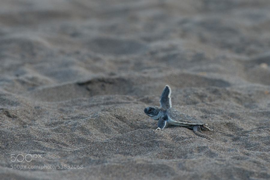 Photograph Baby Sea Turtle @ Tortuguero by Malene Lund on 500px