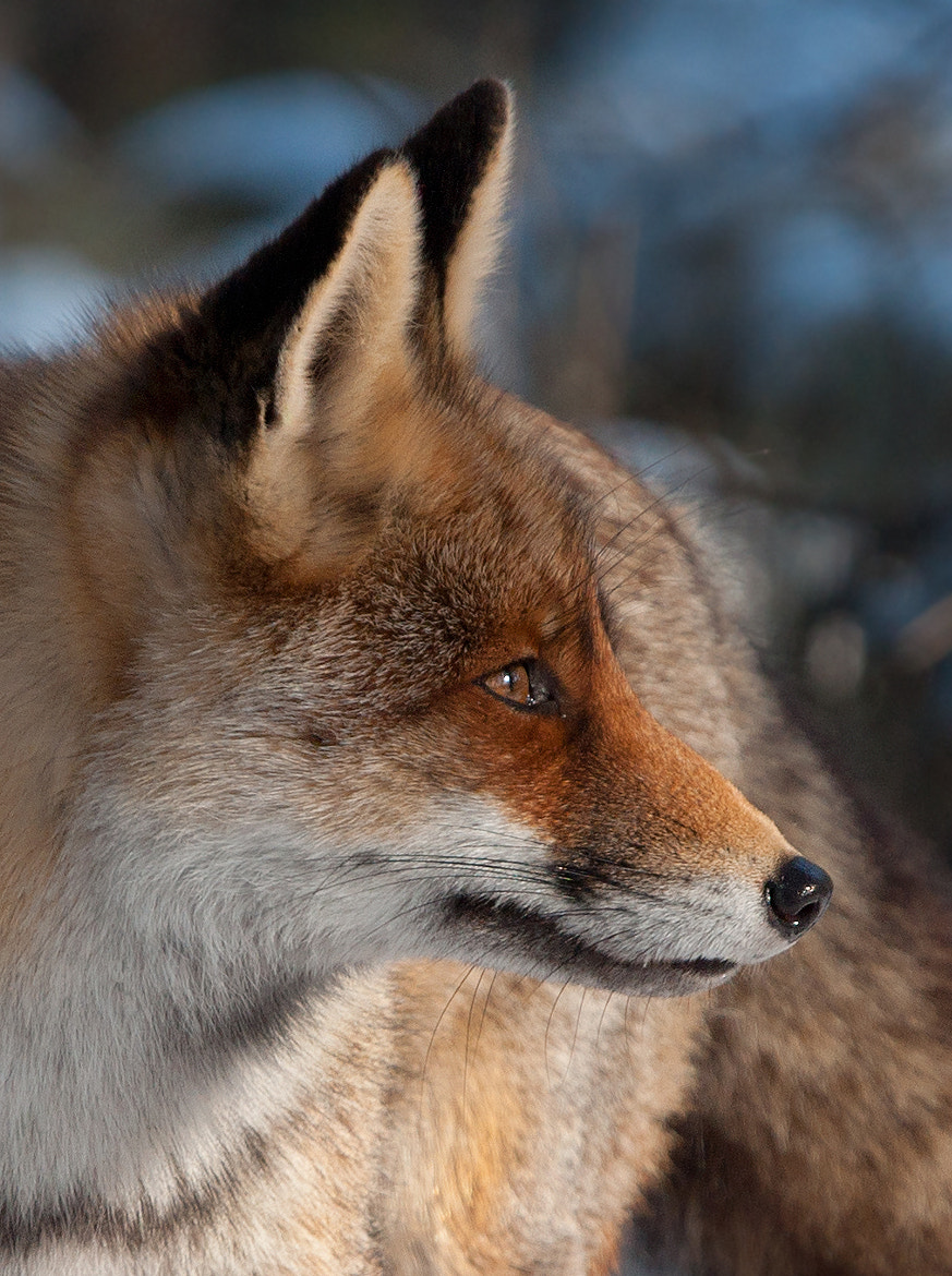 Photograph Red fox by Dinand Molenaar on 500px