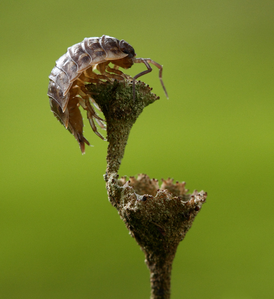 Photograph Woodlouse by Vic.  Parsons. on 500px