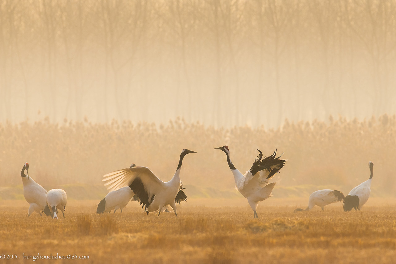 Photograph The Red-crowned Crane by Xiaojun Shen on 500px
