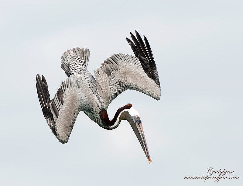 Photograph Pelican Dive by Judylynn Malloch on 500px