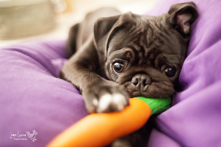 Puppy Images - Pug Face by Jamie Lawson on 500px.com