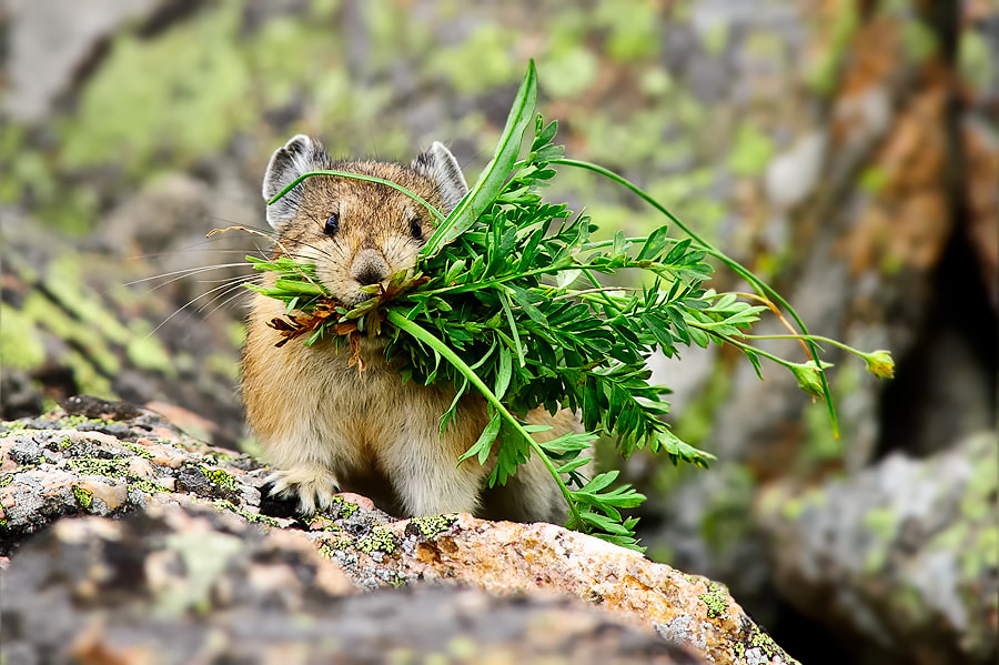 Photograph American Pika by Nasim Mansurov on 500px