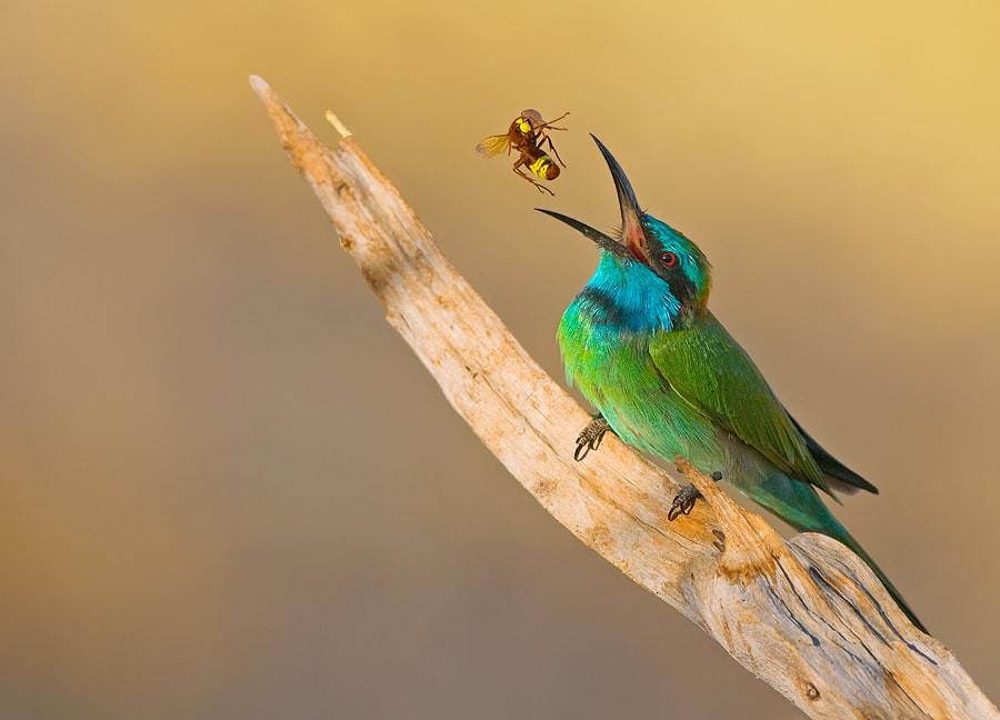Photograph Little Green Bee-eater. by yaki zander on 500px