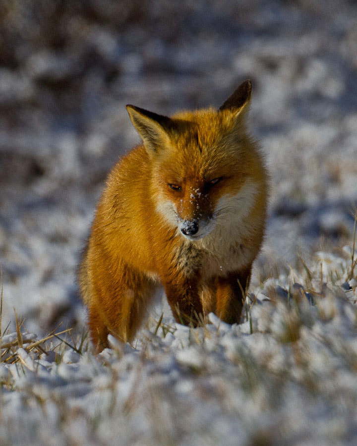 Photograph Snowy Fox by Kelly & Robert Walters on 500px