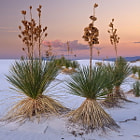 White Sands Yuccas
