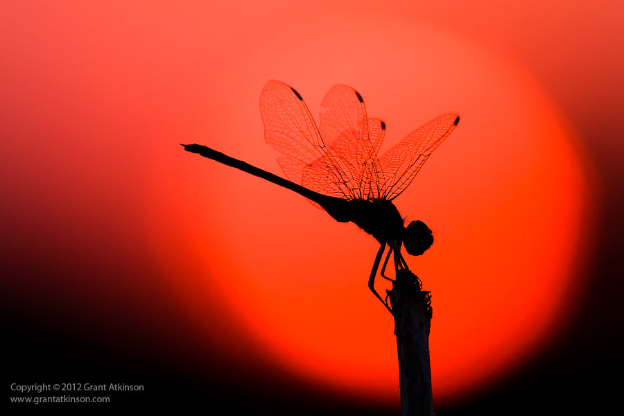 Photograph Sunset Dragonfly by Grant Atkinson on 500px