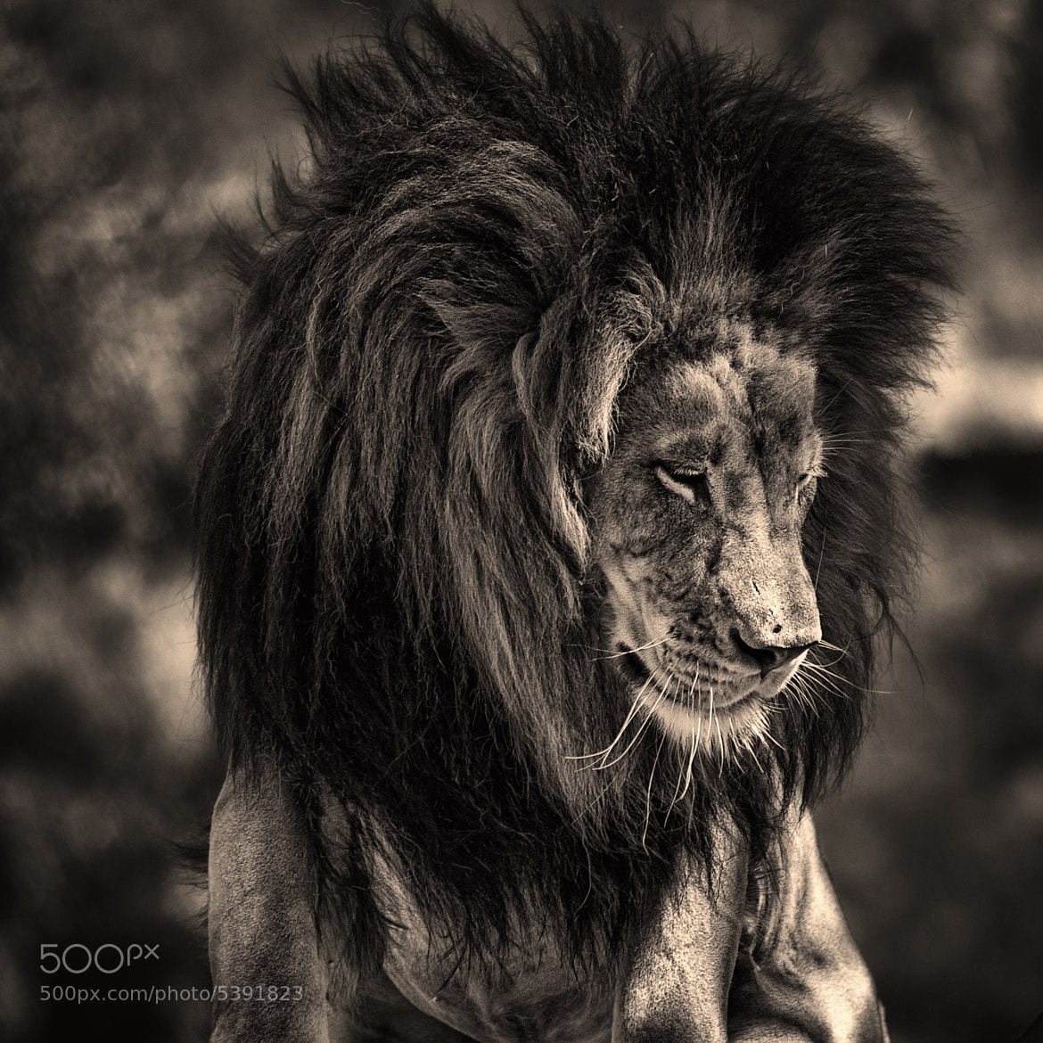 Photograph The King by Shahriar Erfanian on 500px