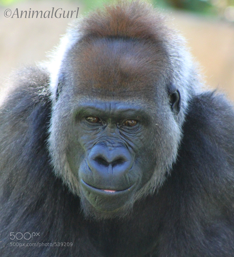 Photograph Gorilla Focus by AnimalGurl Photography on 500px