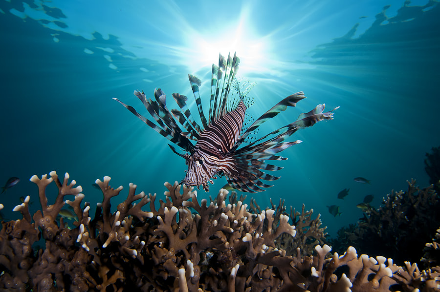 Photograph Lion Fish with Sunburst by Jonathan Lin on 500px