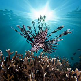 Lion Fish with Sunburst by Jonathan Lin on 500px.com