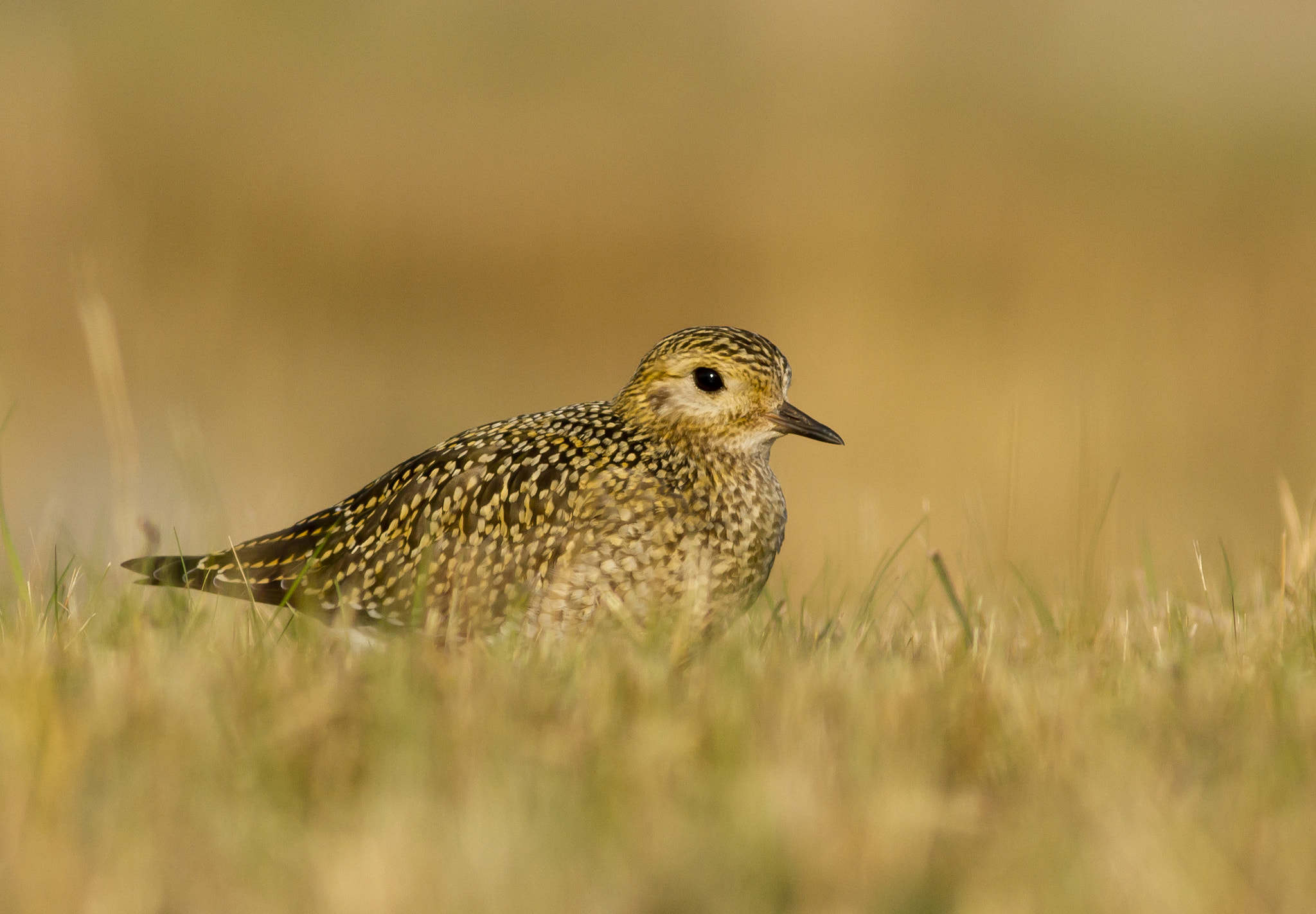 Photograph Golden plover by Johan Sandén on 500px