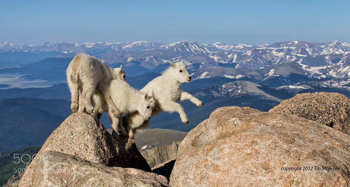Photograph Mountain Goat kids Jumping by Tin Man on 500px