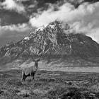 Red Deer Stag. Scottish Highlands.