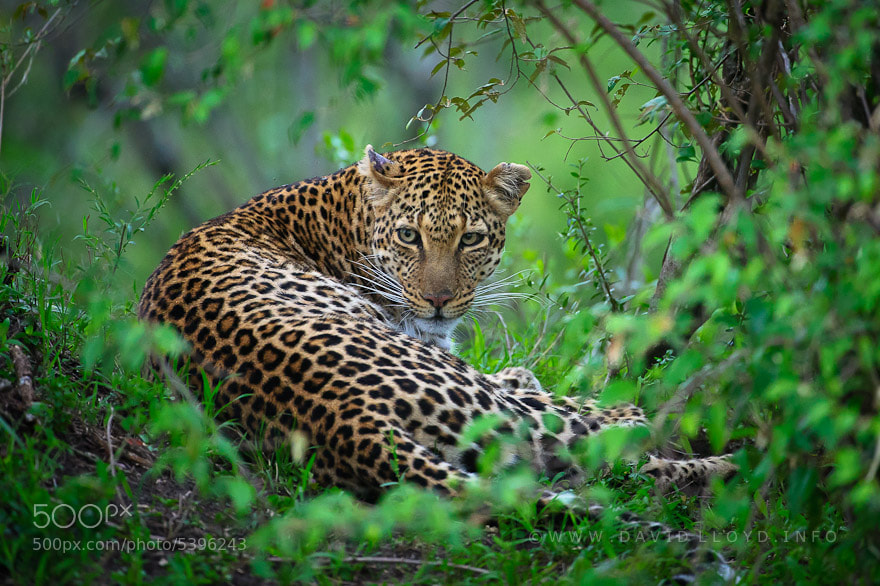 Mara Leopard - The Cat Family Inspiring Photography