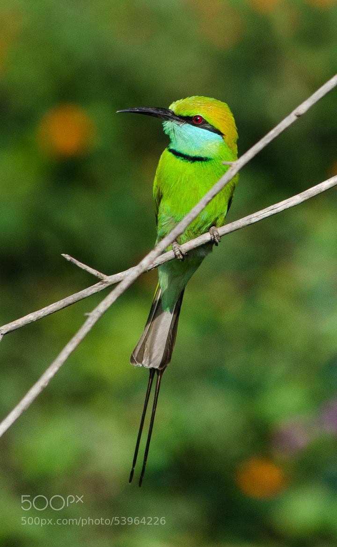 Photograph Green Bee-eater by Subhash Radhakrishnan on 500px