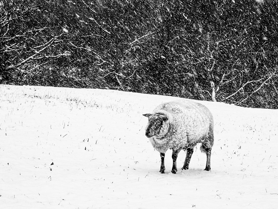 Photograph Poor lonesome sheep by Lucien Vatynan on 500px