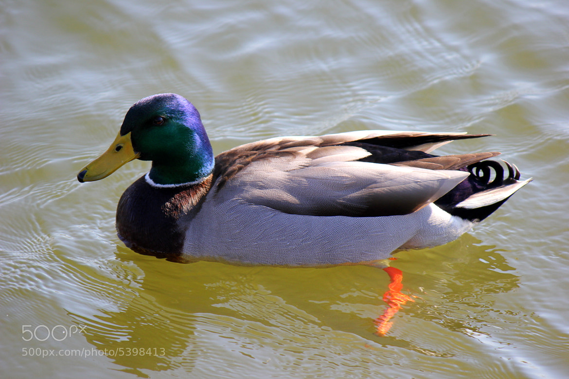 Photograph Mallard Duck by Carrie Black Johnson on 500px