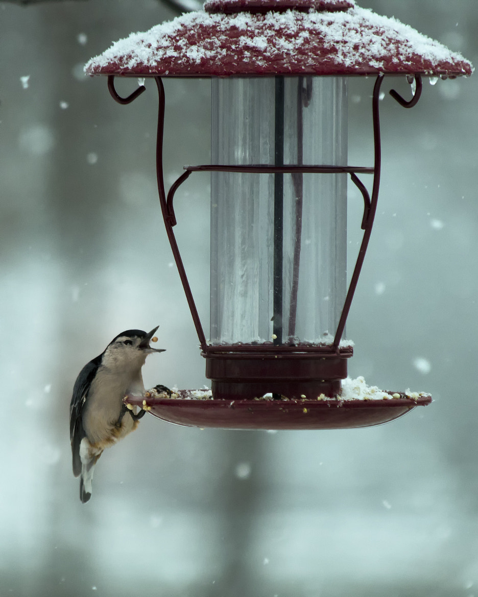 Photograph Nuthatch Catch by Bill Tiepelman on 500px