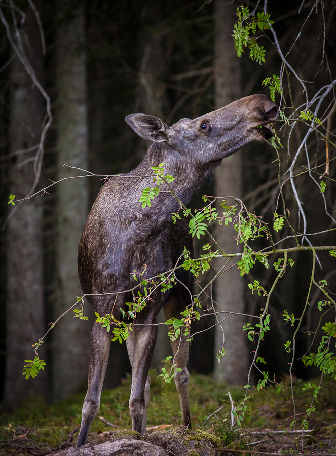 Photograph Moose in Green by Hans Kruse on 500px