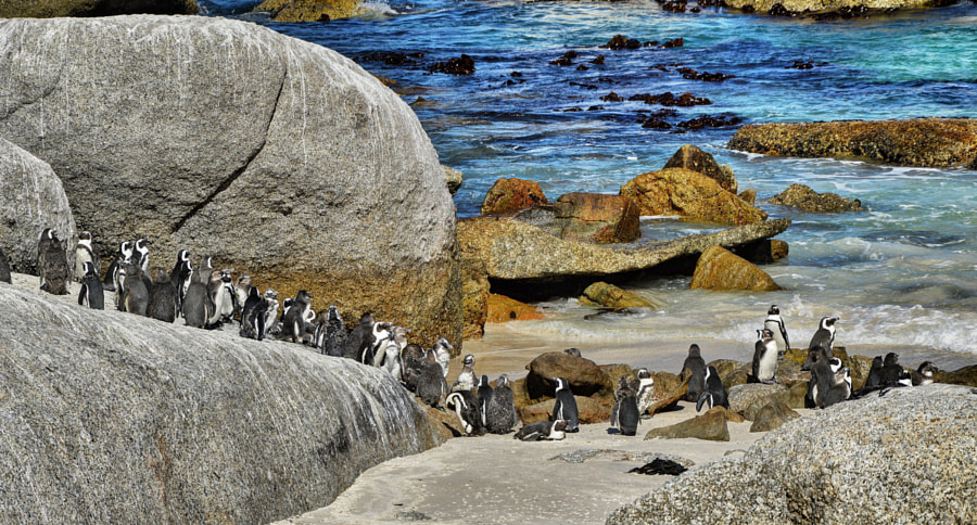 Happy Feet at Boulders Beach by Ravi S R on 500px.com