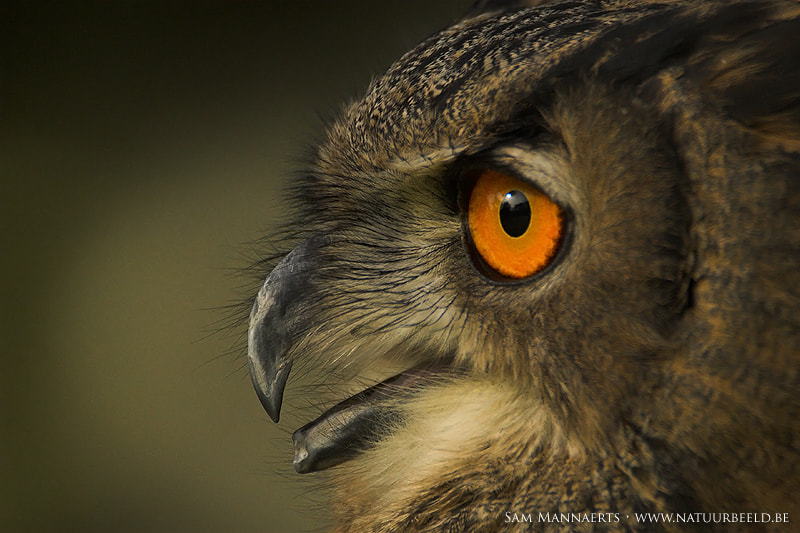 Photograph Owl... by Sam Mannaerts on 500px