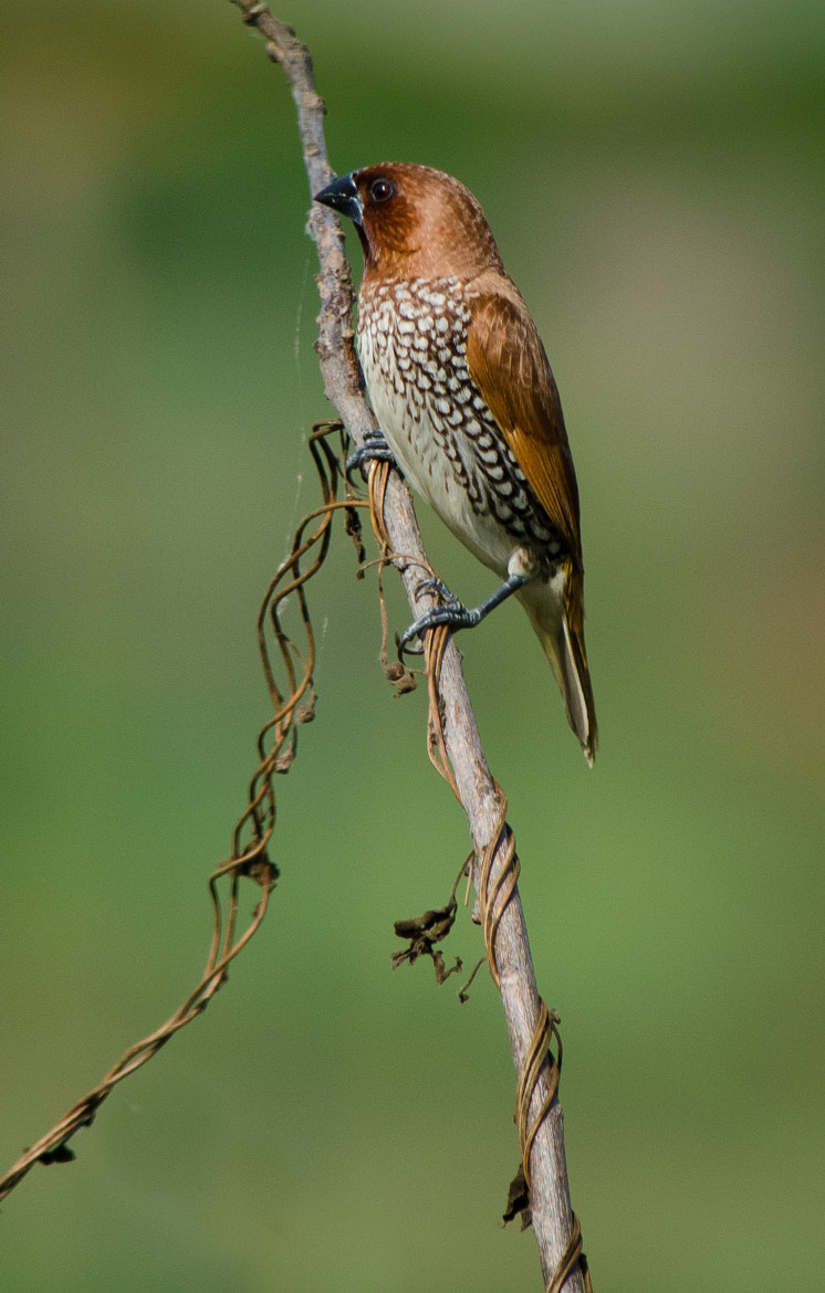 Photograph Scaly-breasted Munia by Subhash Radhakrishnan on 500px