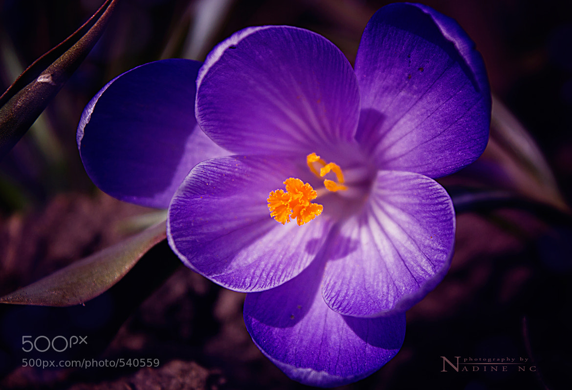 Photograph Spring flower by Nadine Cherkasskikh on 500px