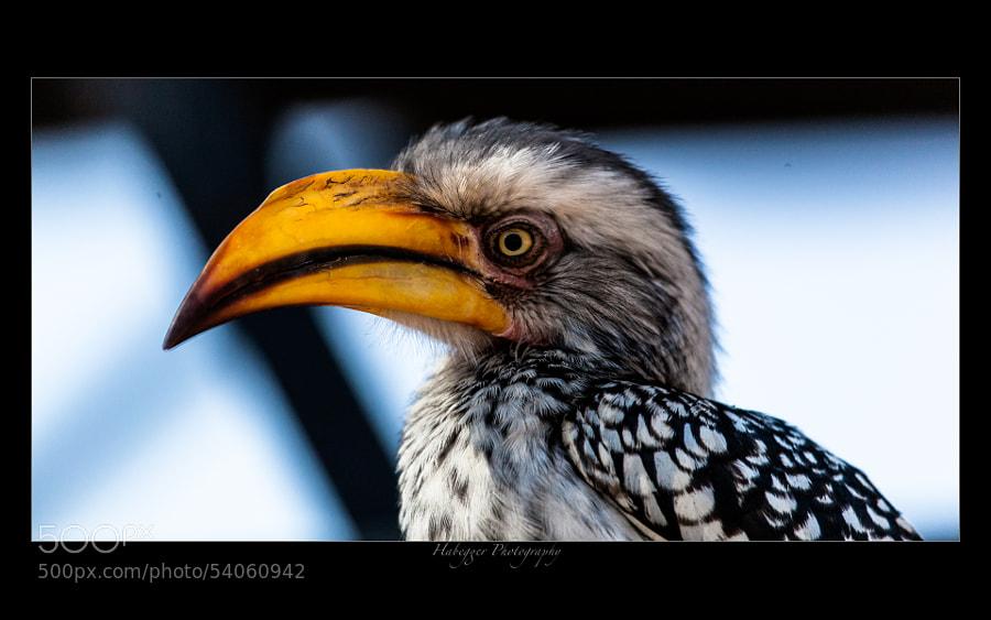 yellow billed hornbill, chobe national park, botswana