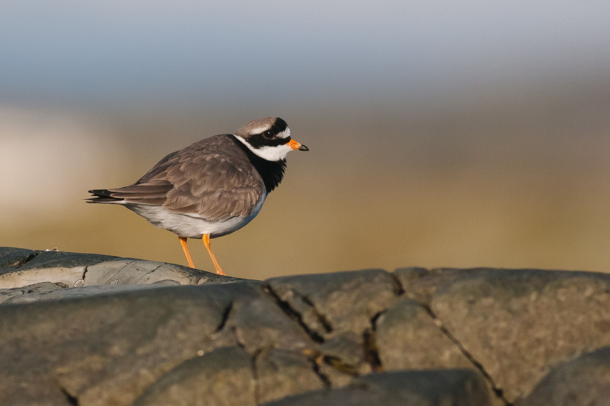 Photograph Ringed Plover by Craig Nash on 500px