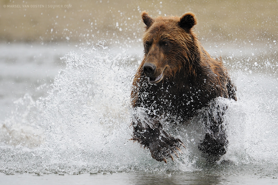 Photograph The Salmon Hunt by Marsel van Oosten on 500px