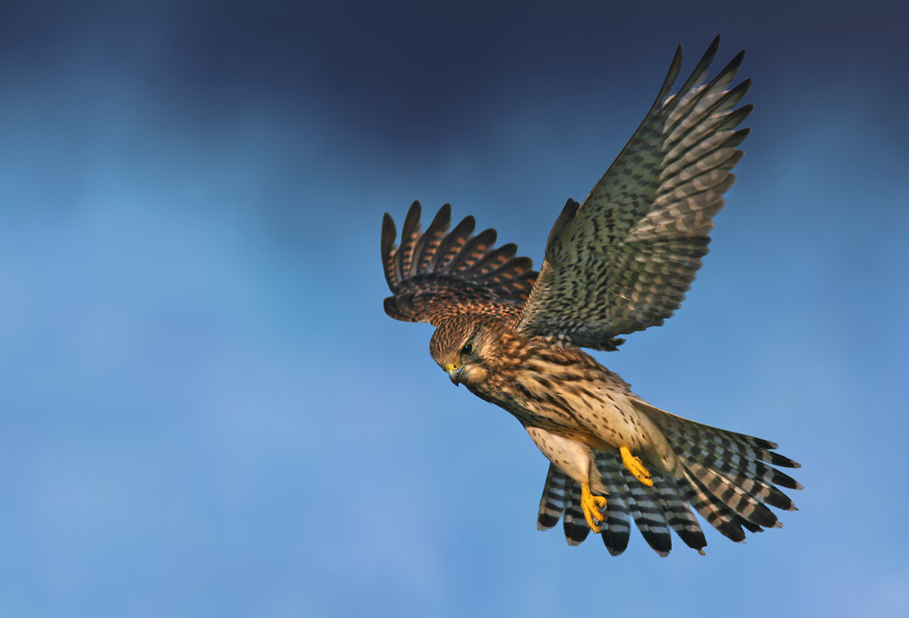 Photograph Kestrel Hovering by Nigel  Pye on 500px