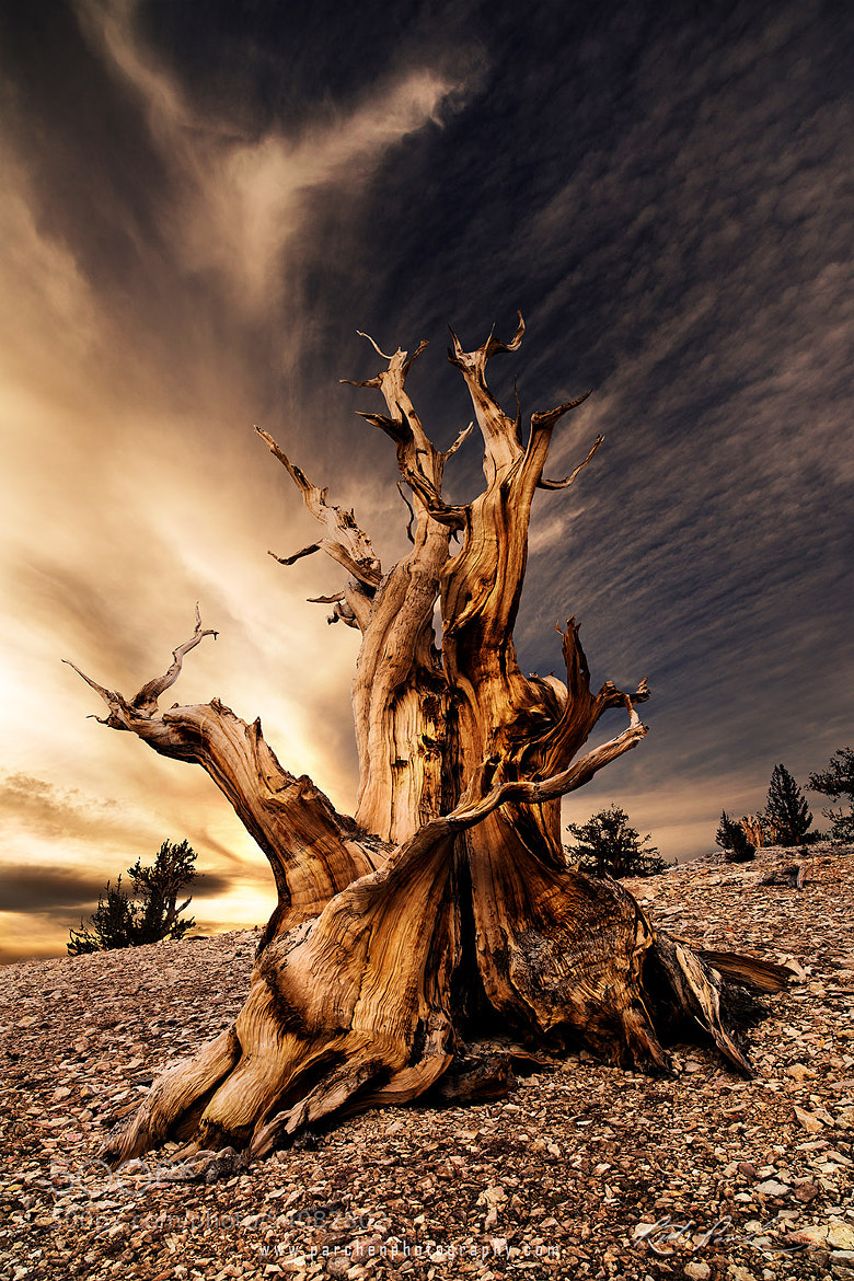 Photograph Sunrise over the Ancient Bristlecone Pine Forest by Rick Parchen on 500px