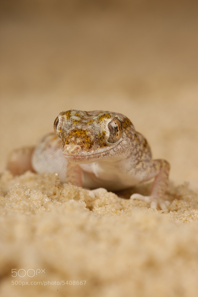 Photograph Arabian Sand Gecko by David Southard on 500px