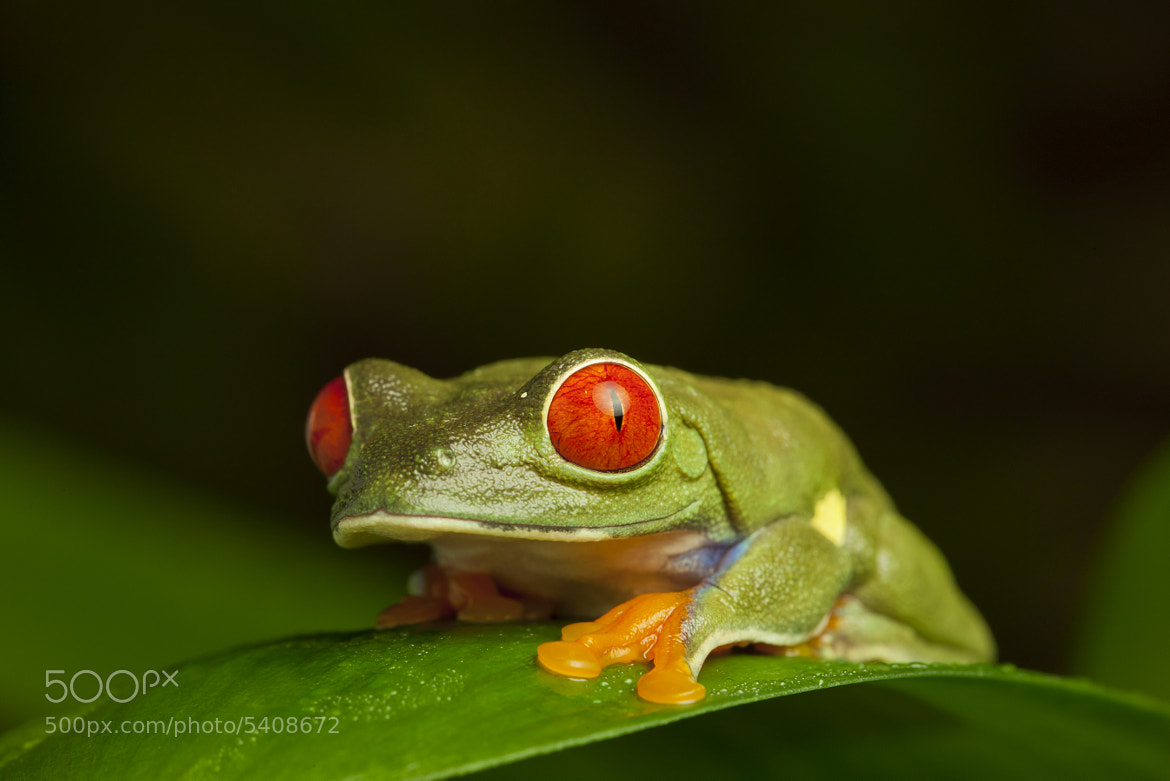 Photograph Red Eye Tree Frog by David Southard on 500px