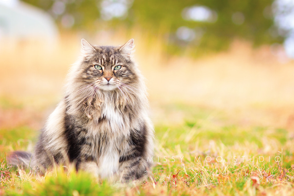 Photograph Sophisticated Kitty by Julie Saraceno on 500px