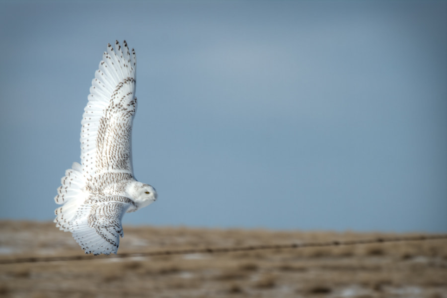 Photograph Snowy Owl by Glen Munro (gm_pentaxfan) on 500px
