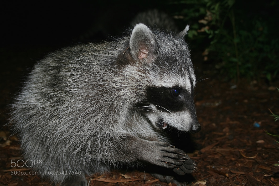 Photograph Raccoon by Mike D on 500px