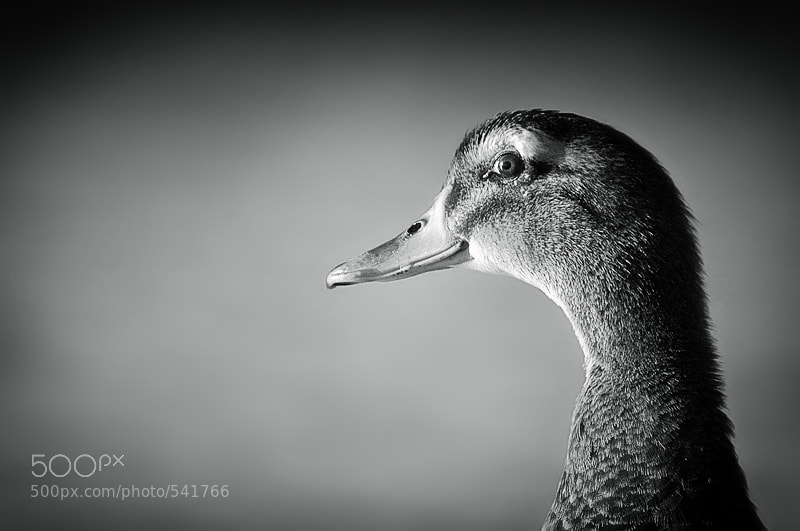 Photograph Duck by Nelson  Grandón on 500px