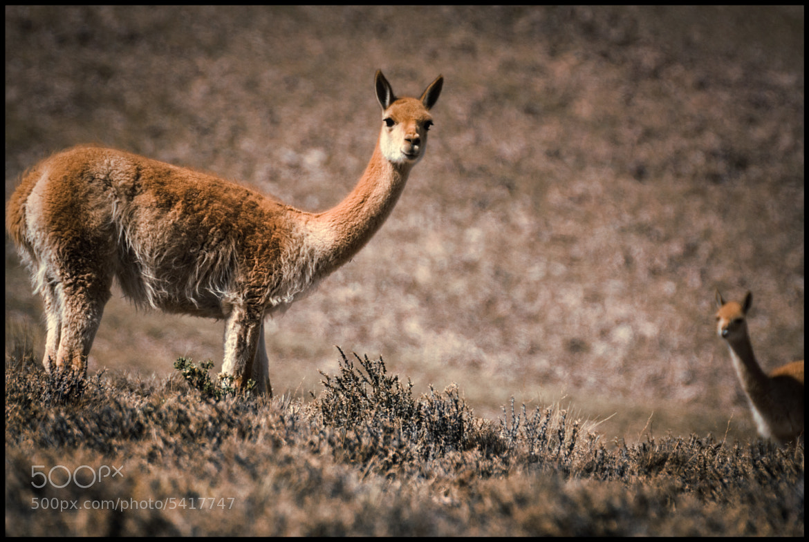 Photograph Vicuñas by Federico R. Grosso on 500px