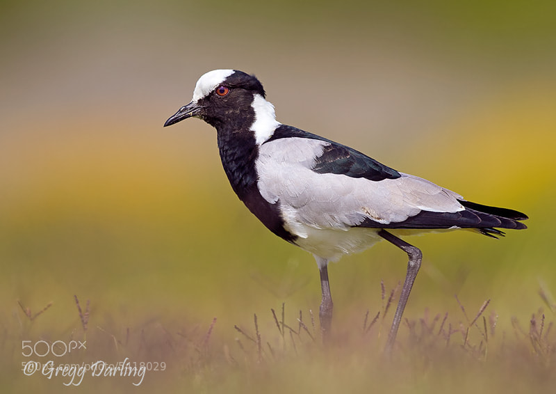 Photograph Blacksmith Lapwing by Gregg Darling on 500px