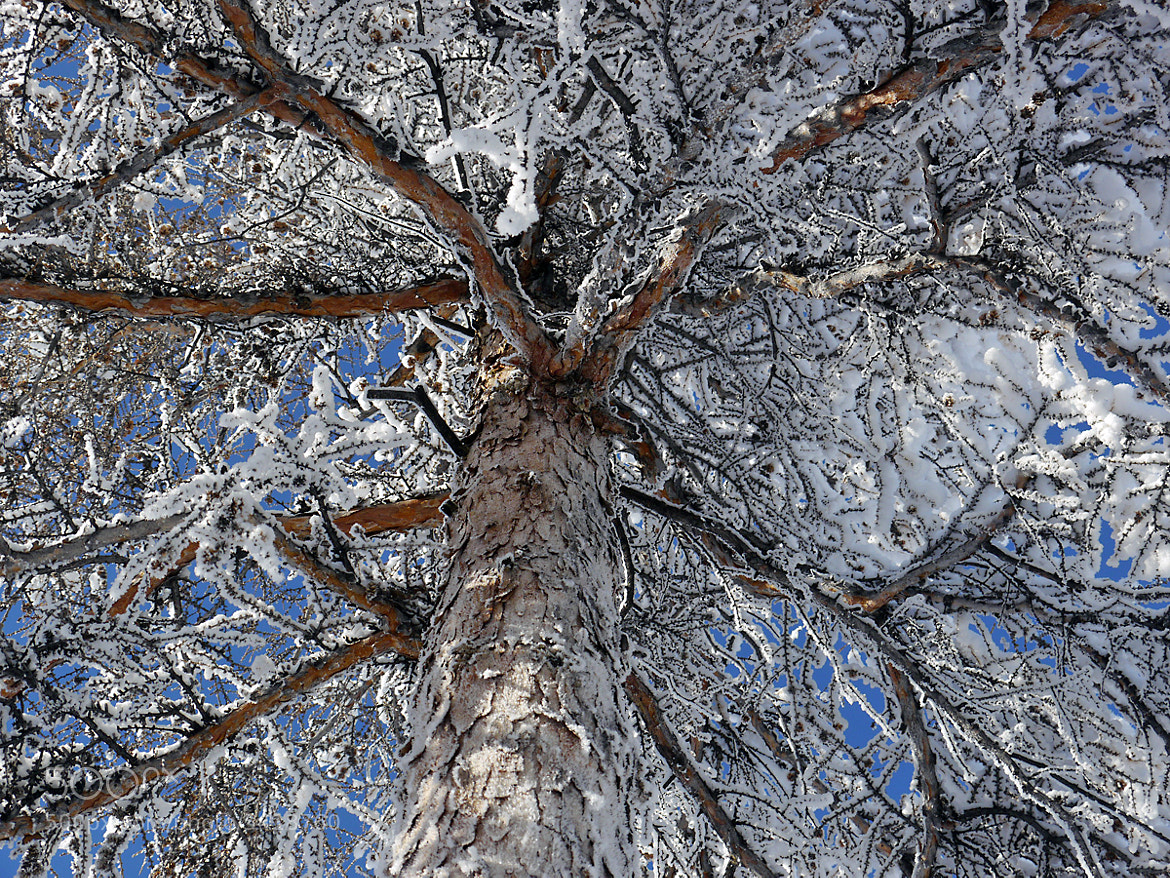 Photograph -50 degrees totally frozen Siberian tree  by Mikael Strandberg on 500px