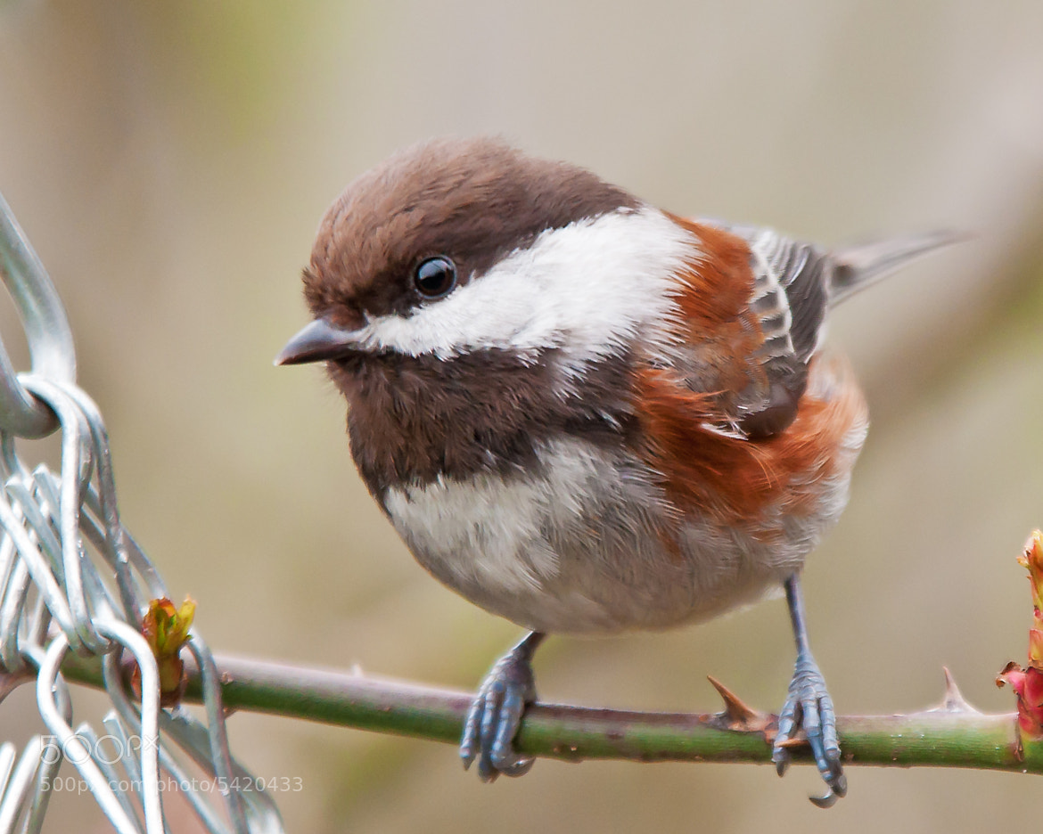 Photograph Chestnut-Backed Chickadee Close and Personal by Mark Bergeron on 500px