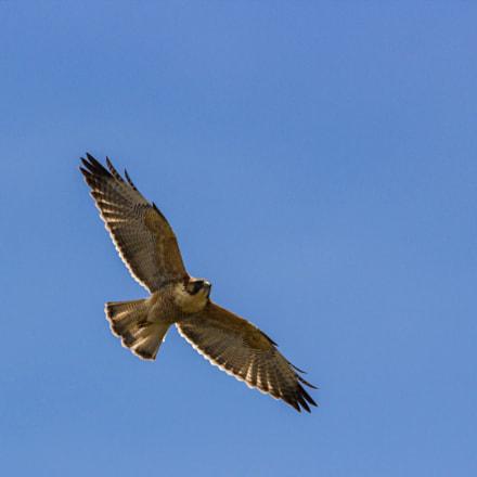 Red-backed Hawk (Geranoaetus polyosoma polyosoma) o Aguilucho inmaduro