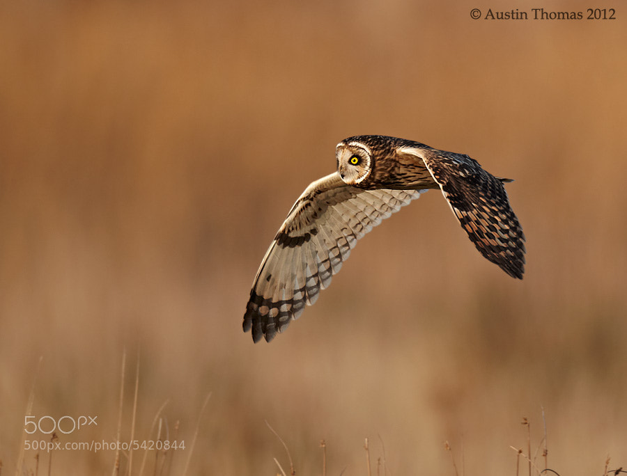 Photograph Short Eared Owl  by Austin Thomas on 500px
